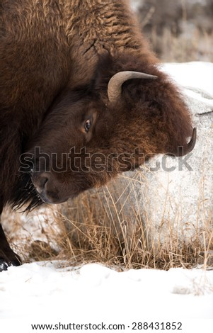 Profile of a bison scratching his head on a rock in Yellowstone National Park