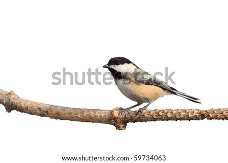 profile of a black-capped chickadee perched on a branch; white background - stock photo