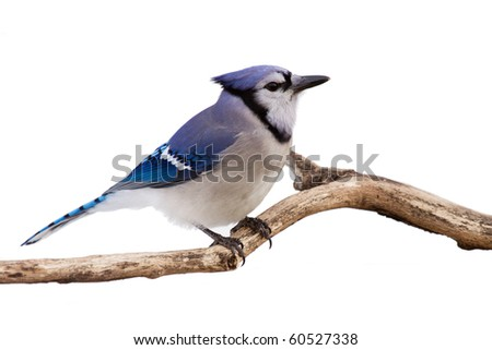 profile of a bluejay perched in branch; white background - stock photo