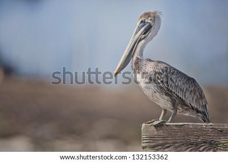 Profile of a Brown Pelican - stock photo