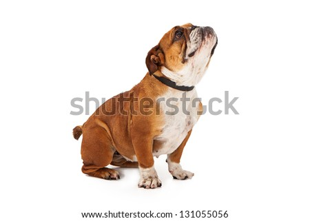 Profile of a Bulldog looking up against a white backdrop