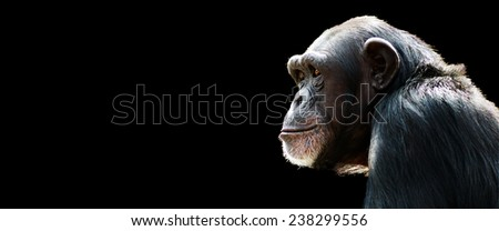 profile of a chimpanzee staring thoughtfully with room for text on a black background