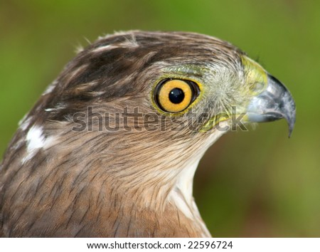 Profile of a Hawk