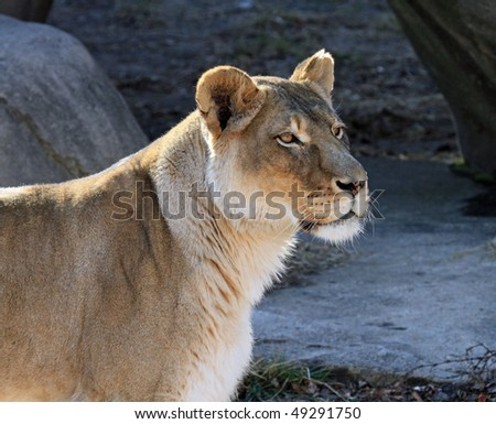 Profile of a healthy female lion at the Lincoln Park Zoo in Chicago - stock photo