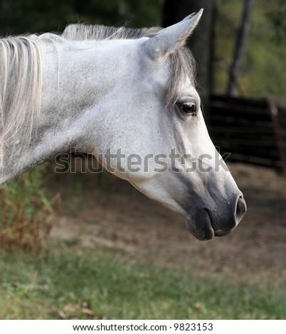 Profile of a horse - stock photo