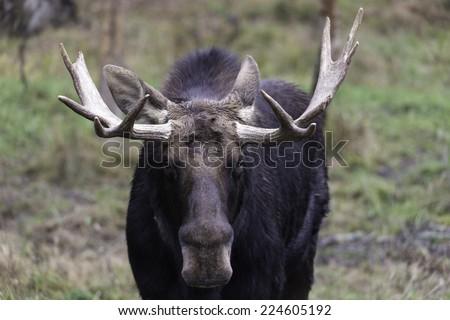 Profile of a male moose - stock photo