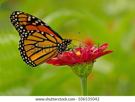 Profile of a monarch butterfly on a  Zinnies - stock photo
