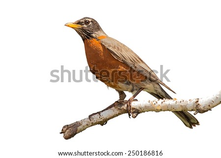 Profile of a orange breasted robin peering into the distance. The bird is perched at the end of a peeling birch branch. White background, isolated