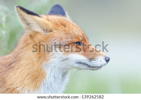Profile of a red fox in the wild with green blurred background - stock photo