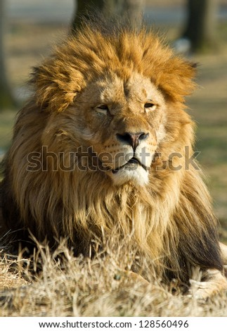profile of a relaxed African lion