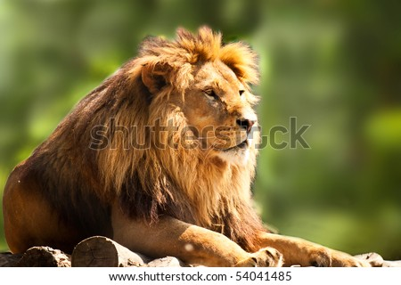 profile of a relaxed African lion staring in the zoo - stock photo