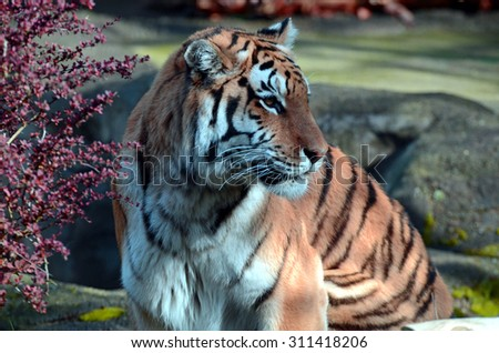 Profile of a Tiger - stock photo