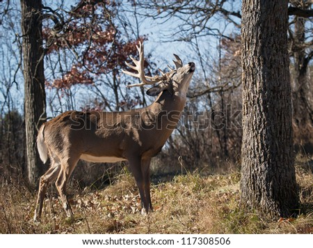 Profile of a trophy whitetail buck in rut, showing a lip curl.  Autumn in Wisconsin - stock photo
