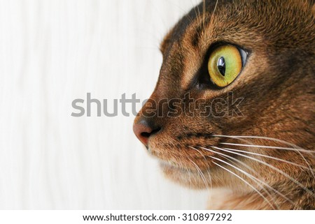 Profile of abyssinian cat, closeup side shot - stock photo