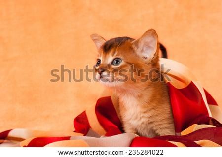 Profile of abyssinian kitten on sofa closeup portrait - stock photo