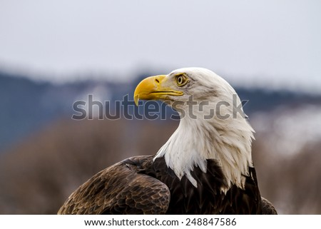 Profile of American Bald Eagle sitting on large rock on winter morning - stock photo