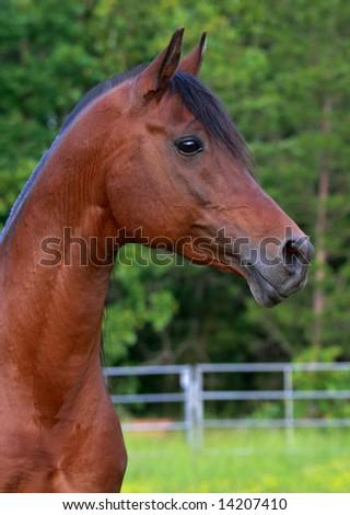 Profile of Bay Arabian Stallion - stock photo