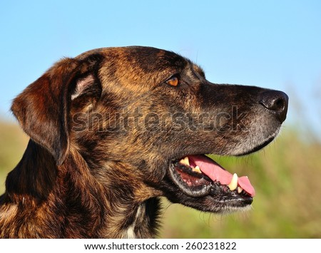 Profile of canary dog in foreground - stock photo
