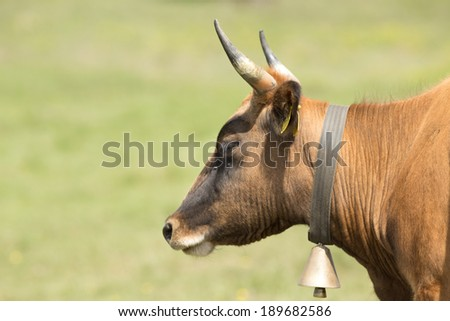 Profile of cow head with bell on neck - stock photo