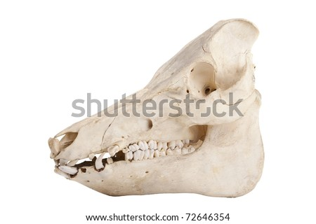Profile of cutout of boar skull with jagged teeth - stock photo