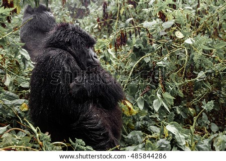 Profile of female mountain gorilla sit in the forest