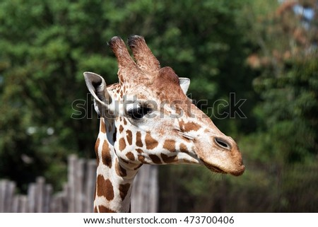 Profile of giraffes