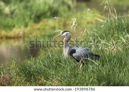 Profile of great blue heron near Hauser Lake, Idaho. - stock photo