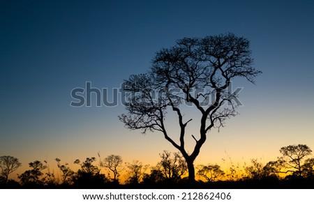 Profile of ipe tree at sunset - stock photo
