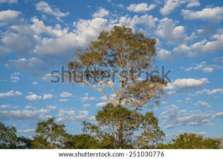 Profile of ipe tree with cloudy sky at brazilian pantanal - stock photo