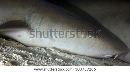 PROFILE OF NURSE SHARK SLEEPING IN AN UNDERWATER CAVE - stock photo