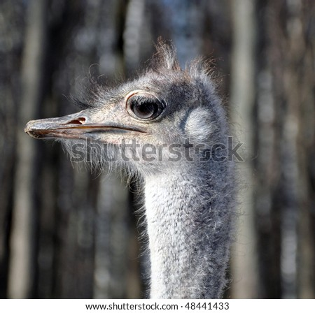 Profile of ostrich in front of russian birches - stock photo