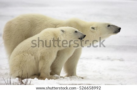 Profile of polar bear sow with her cub on the frozen tundra.  Churchill, Manitoba, Canada