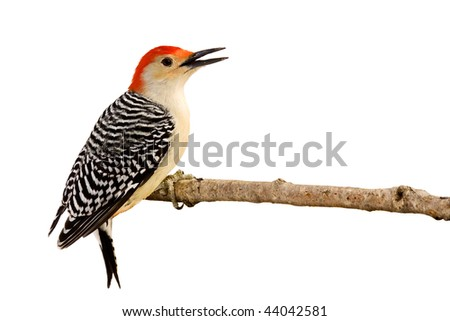 profile of red-bellied woodpecker with beak open perched on a branch; white background - stock photo