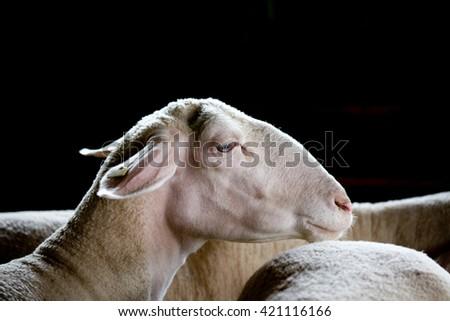 Profile of sheep (Ile de france) head over black background - stock photo