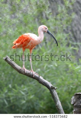 scarlet ibis parallelism Start studying imagery and symbolism in the scarlet ibis learn vocabulary, terms, and more with flashcards, games, and other study tools.