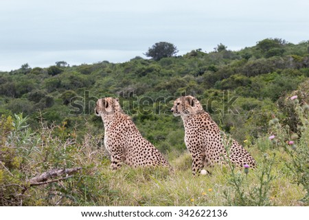 Profile of two male, sitting adult Cheetah keeping watch, Acinonyx jubatus, in South Africa - stock photo