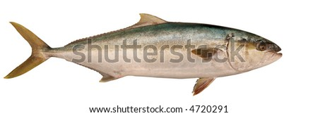 Profile of Yellowtail Tuna fish isolated on a white background with clipping path