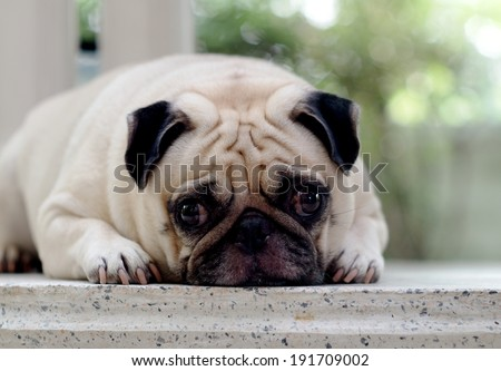 profile photo portraits of a lovely lonely white fat pug dog on the floor making sadly face with home outdoor surrounding bokeh background - stock photo