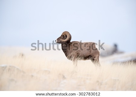 Profile portrait of a male big horn sheep (ram); full body profile - stock photo