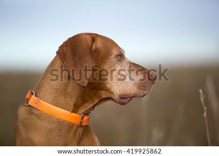 profile portrait of a vizsla outdoors - stock photo