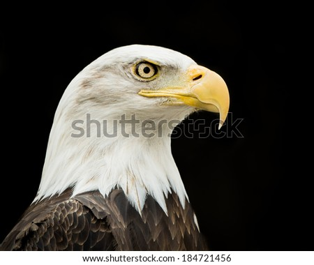 Profile portrait of Bald Eagle