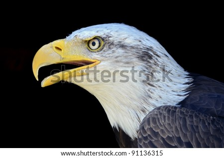 Profile portrait of bald eagle (Haliaeetus leucocephalus), the open beak, on black background