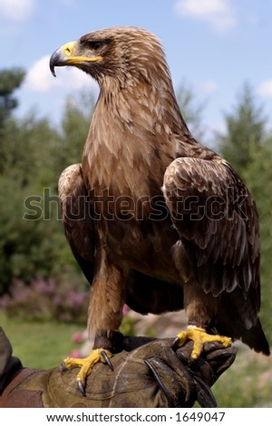 Profile portrait of beautiful golden eagle (Aquila chrysaetos) - stock photo