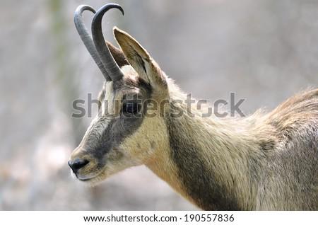 Profile portrait of chamois (Rupicapra rupicapra) - stock photo