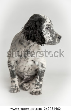 Profile portrait of puppy spotted english setter in sitting position - stock photo