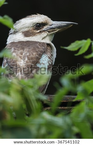 Profile profile portrait of laughing kookaburra or Dacelo novaeguineae in Latin - stock photo