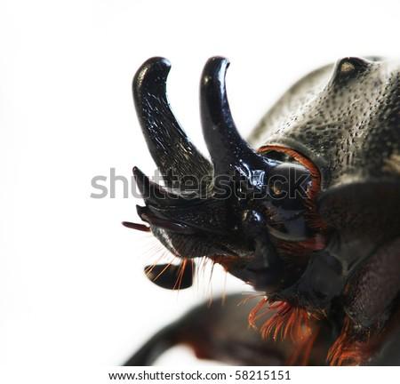 Profile shot of a Black Beetle macro. - stock photo