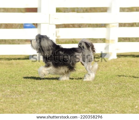 Profile view of a black,gray and white petit chien lion (little lion dog) walking on the grass.Lowchen has a long wavy coat groomed to resemble a lion,the haunches,back legs and part of the tail shave - stock photo