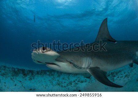 Profile View of a Great Hammerhead Shark off Bimini in the Bahamas - stock photo