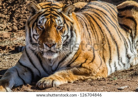 Profile View of a  TIger in nature - stock photo
